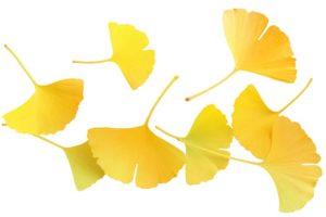 【イチョウ葉(銀杏葉茶)】<br />原料植物、健康茶として期待される効果効能