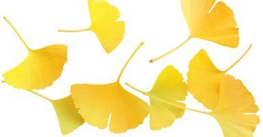 イチョウ/銀杏葉のイメージ画像