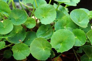 【ゴツコーラ/ツボクサ】<br />原料植物、ハーブティーに期待される効果効能