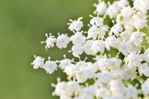 【エルダーフラワー】<br />原料植物、ハーブティーに期待される効果効能