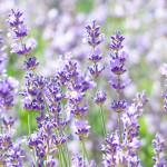 画像:ラベンダー(Lavender)