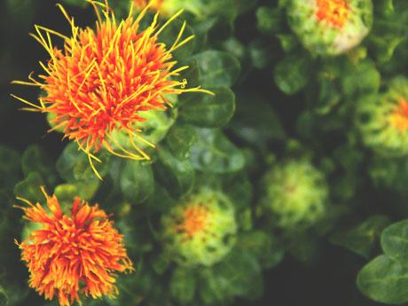 画像:サフラワー(紅花/ベニバナ)