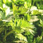 画像:セロリ(Celery)