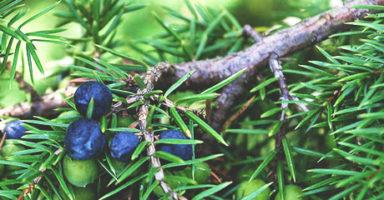 画像:ジュニパーベリー(Juniper berry)