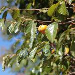画像:柿の葉