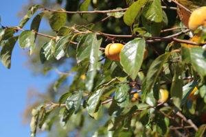柿の葉<br />健康茶と期待される効果効能紹介