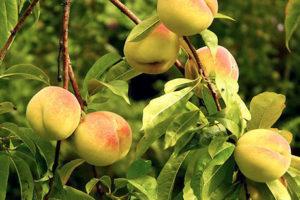 桃の葉<br />健康茶と期待される効果効能紹介