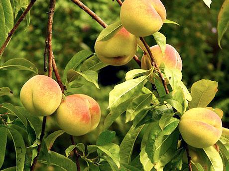 画像:桃の葉(Peach Leaf)