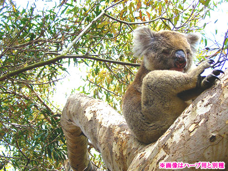 画像:ユーカリ(Eucalyptus)