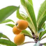 画像:枇杷の葉(ビワの葉)