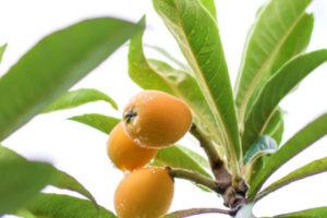ビワの葉(枇杷葉)<br />健康茶と期待される効果効能紹介