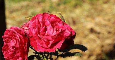画像:ローズ(薔薇)
