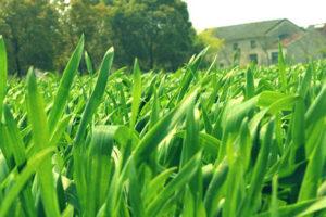 大麦若葉<br />健康茶と期待される効果効能紹介
