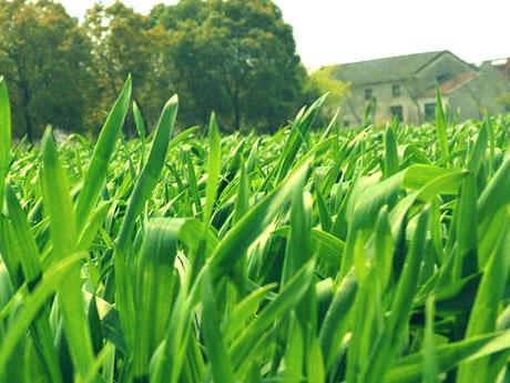 画像:大麦若葉(オオムギワカバ)