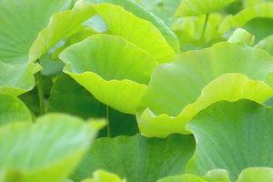 ハスの葉(蓮葉茶)<br />健康茶と期待される効果効能紹介