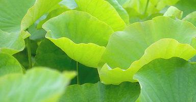 画像:蓮の葉(ロータスリーフ)