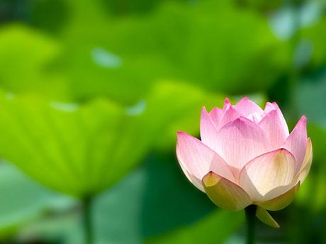 画像:蓮の花(ロータスリリー)