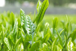 ギャバロン茶(ギャバロン緑茶)<br />健康茶と期待される効果効能紹介