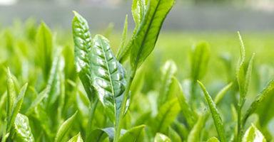 画像:緑茶(ギャバロン茶)