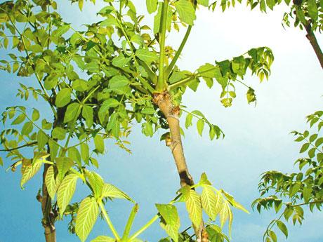 画像:タラの葉