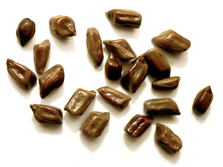 Sennaobtusifoliaseeds