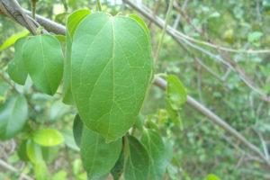 ギムネマ茶(ギムネマ・シルベスタ)<br />健康茶と期待される効果効能紹介