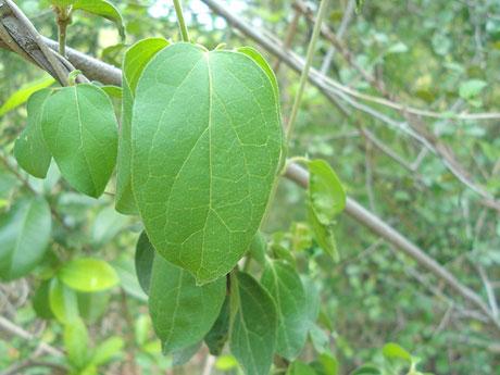 Gymnema sylvestre medicinal herb at Kambalakonda Visakhapatnam