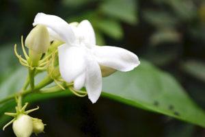ジャスミンティー(ジャスミン緑茶)<br />健康茶と期待される効果効能紹介