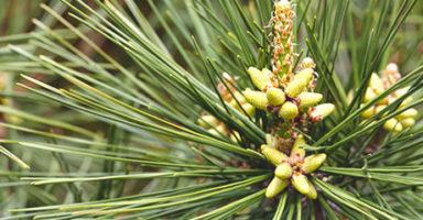 松の葉のイメージ画像